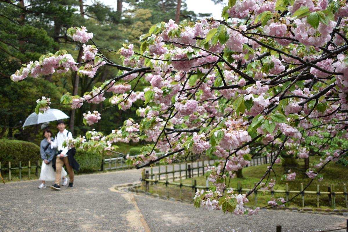 桜ヶ岡口近くの桜